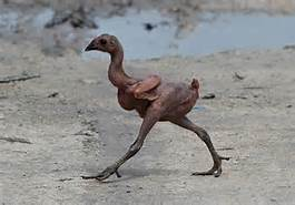 Featherless biped